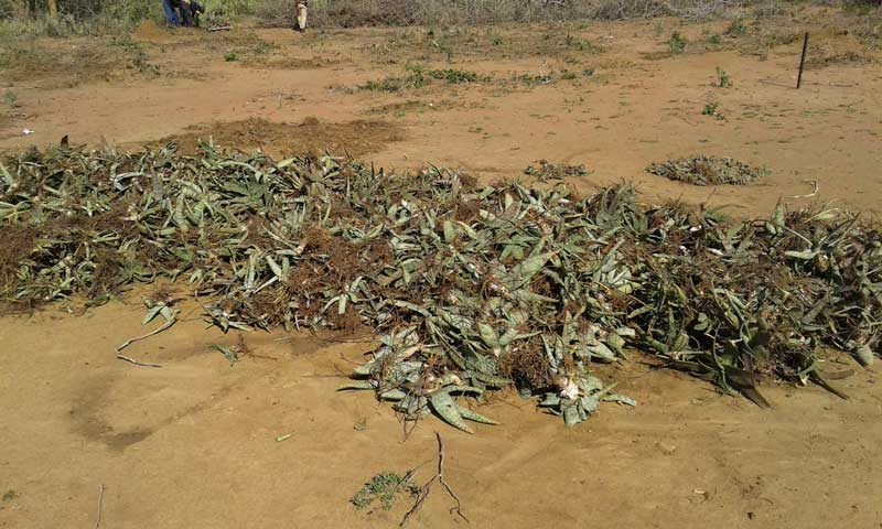 aloe parvibracteata that have been rescued which are to be relocated to an area out of harms way