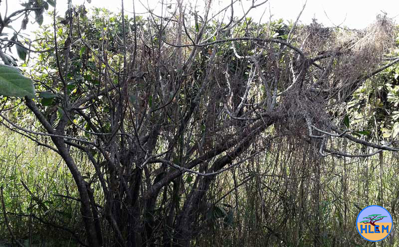 barringtonia racemose a protected tree has been killed by the careless use of picloram at the umdloti river lagoon by an ngo doing alien plant eradication