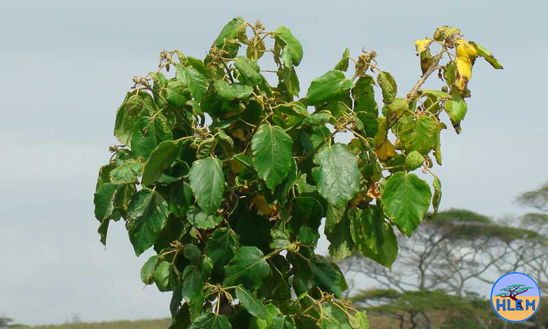 croton sylvaticus dying after damage by picloram where spraying with picloram had taken place a year or two before