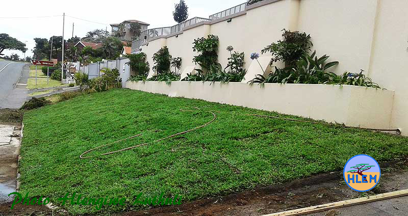 Small High Quality Domestic Lawn planted with LIVING EARTH Berea Grass Dactycloctenium australe sod HLEM Hlengiwe Luthuli Environmental Management (Pty) Ltd KZN Durban South Africa