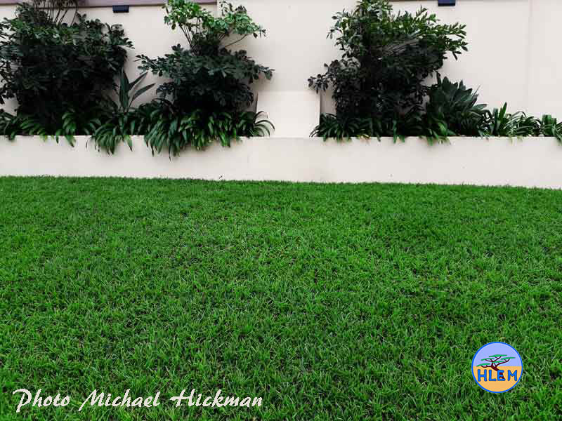 well established High Quality Domestic Lawn planted with LIVING EARTH Berea Grass Dactycloctenium australe sod HLEM Hlengiwe Luthuli Environmental Management (Pty) Ltd Durban KZN South Africa
