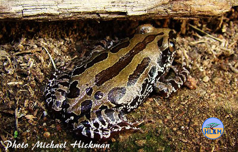 Running Frog Kassina senegalensis photo taken at Mount Moreland Durban South Africa