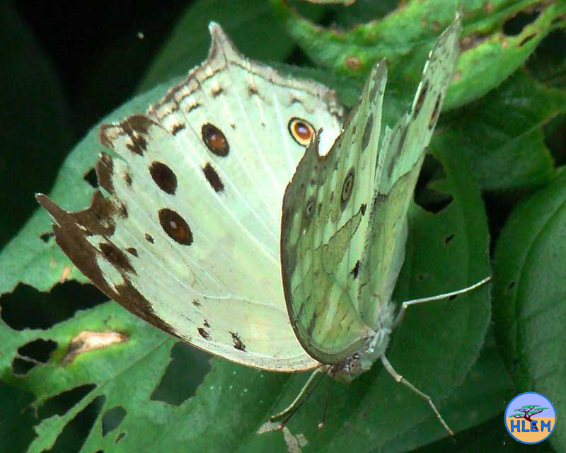 HLEM environmental management Protogoniomorpha parhassus aethiops the common mother-of-pearl butterfly