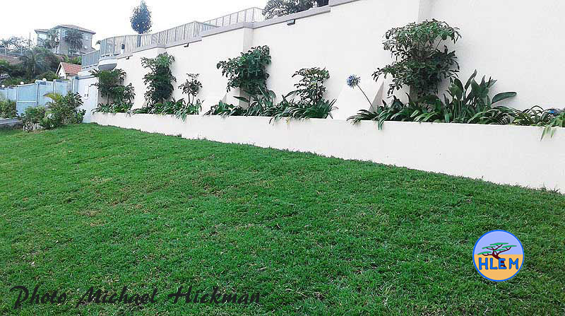First cut of a small High Quality Domestic Lawn planted with LIVING EARTH Berea Grass Dactycloctenium australe sod HLEM Hlengiwe Luthuli Environmental Management (Pty) Ltd Durban KZN South Africa