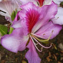 Orchid tree Bauhinia variegata  is a NEMBA category 1b invasive alien, HLEM Hlengiwe Luthuli Environmental Management (Pty) Ltd Durban KZN South Africa