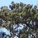 HLEM casuarina cunninghamiana beef wood  icon NEMBA category 2 alien invasive alien plant Durban South Africa