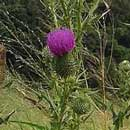 HLEM cirsium vulgare scotch thistle icon NEMBA category 1 a aline invasive alien plant Durban South Africa