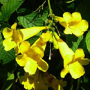 HLEM tecoman stans yellow bells icon NEMBA category 1 b alien invasive alien plant Durban South Africa