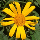 HLEM tithonia diversifolia mexican sunflower icon NEMBA category 1 b alien invasive alien plant Durban South Africa