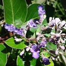 HLEM vitex trifolia indian vitex icon NEMBA category 1 b alien invasive alien plant Durban South Africa